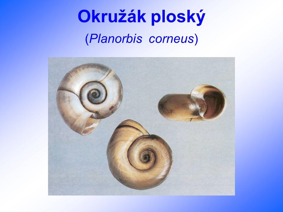 Okružák ploský (Planorbis corneus)