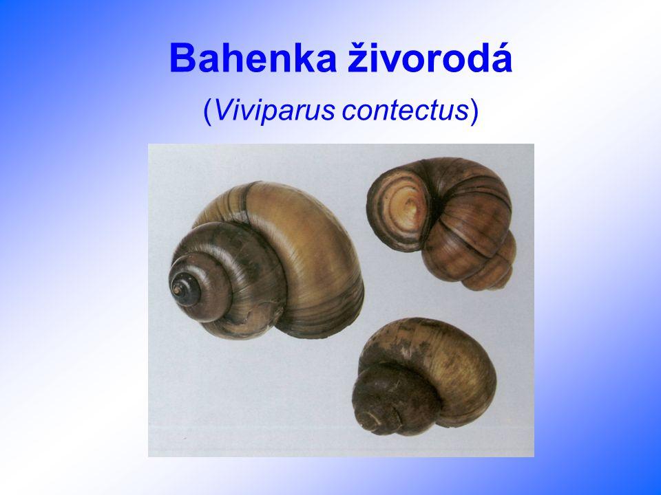 Bahenka živorodá (Viviparus contectus)