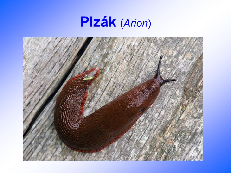 Plzák (Arion)
