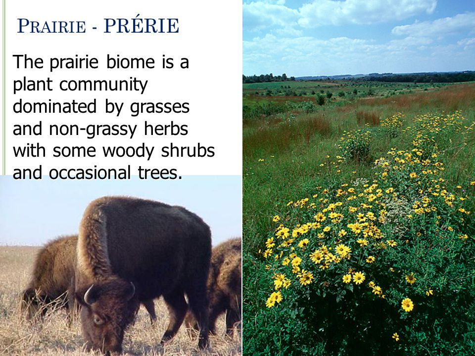 Prairie - PRÉRIE The prairie biome is a plant community dominated by grasses and non-grassy herbs with some woody shrubs and occasional trees.