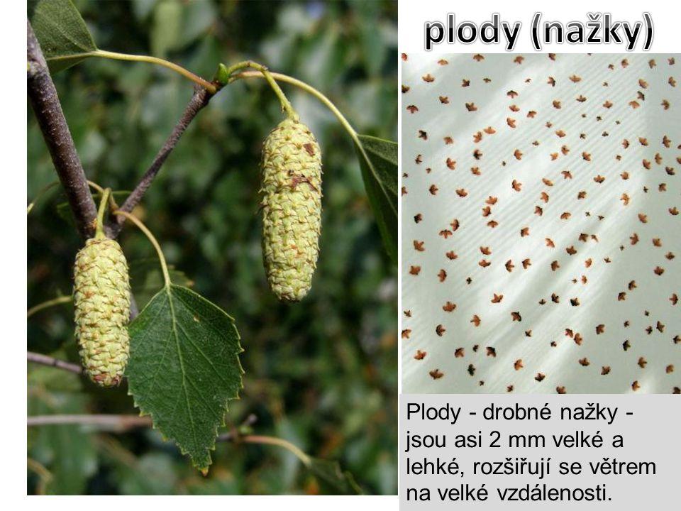 plody (nažky) Plody - drobné nažky - jsou asi 2 mm velké a lehké, rozšiřují se větrem na velké vzdálenosti.