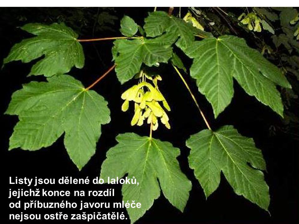 Listy jsou dělené do laloků, jejichž konce na rozdíl od příbuzného javoru mléče nejsou ostře zašpičatělé.
