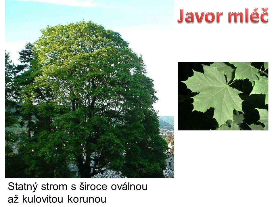 Javor mléč Statný strom s široce oválnou až kulovitou korunou