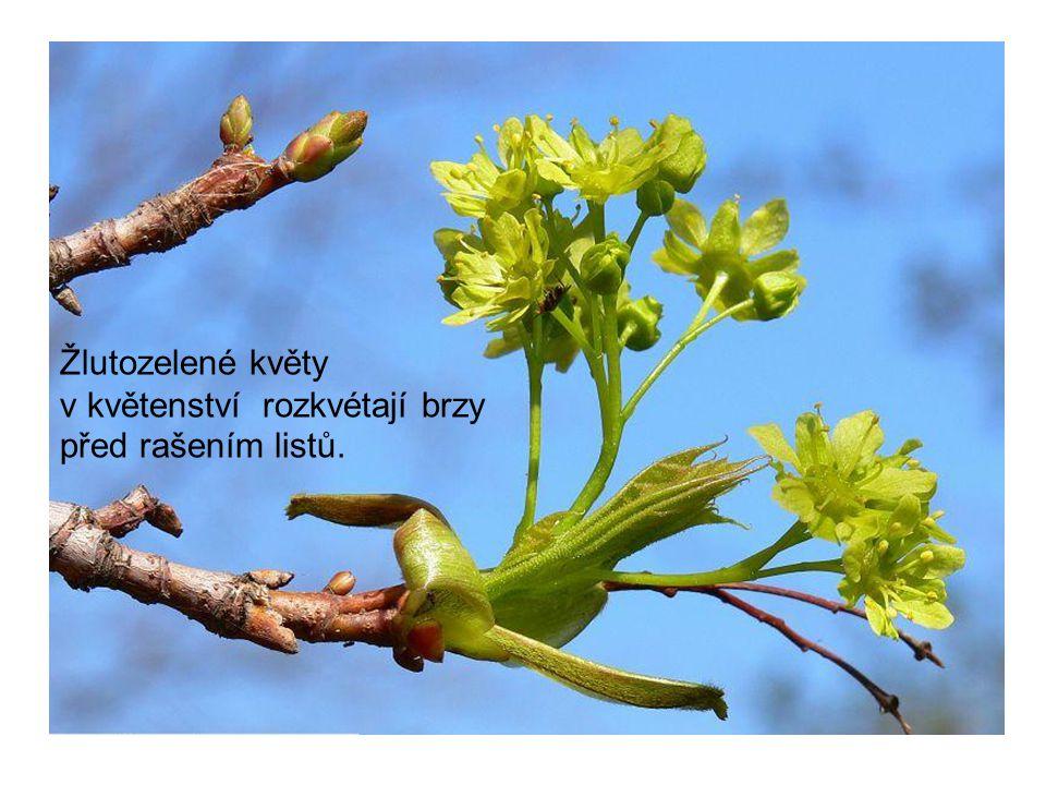 Žlutozelené květy v květenství rozkvétají brzy před rašením listů.