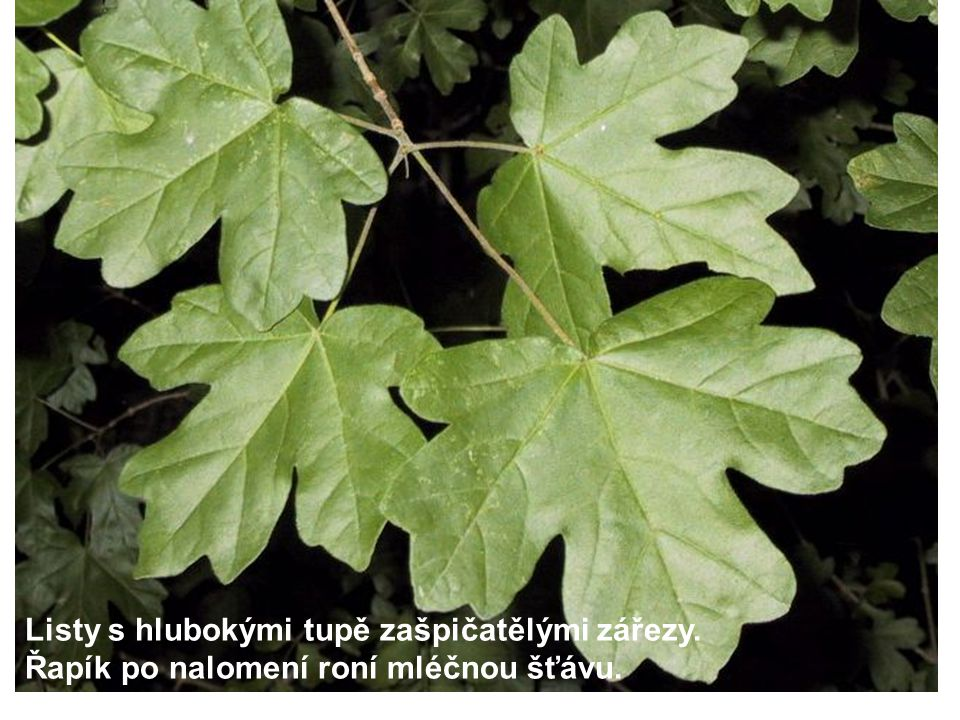 Listy s hlubokými tupě zašpičatělými zářezy