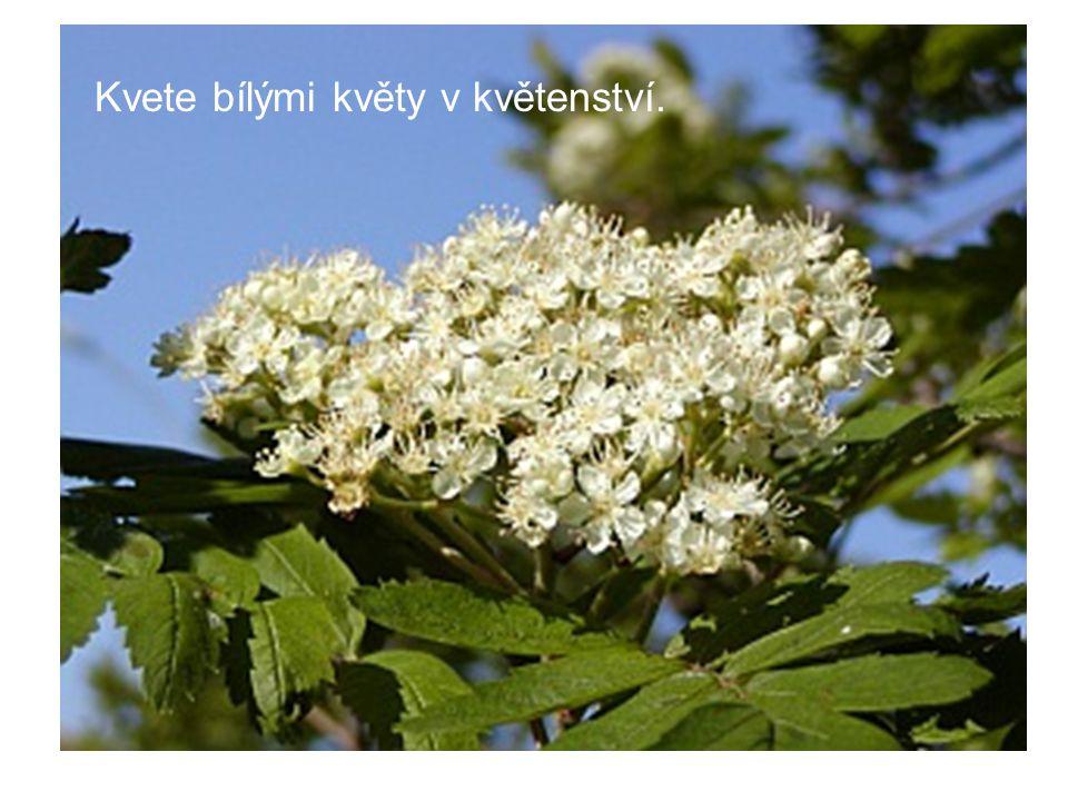 Kvete bílými květy v květenství.