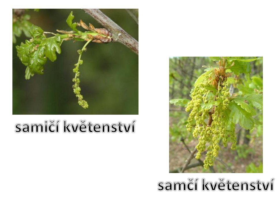 samičí květenství samčí květenství