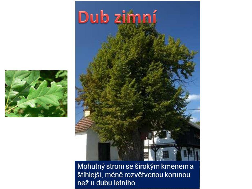 Dub zimní Mohutný strom se širokým kmenem a štíhlejší, méně rozvětvenou korunou než u dubu letního.