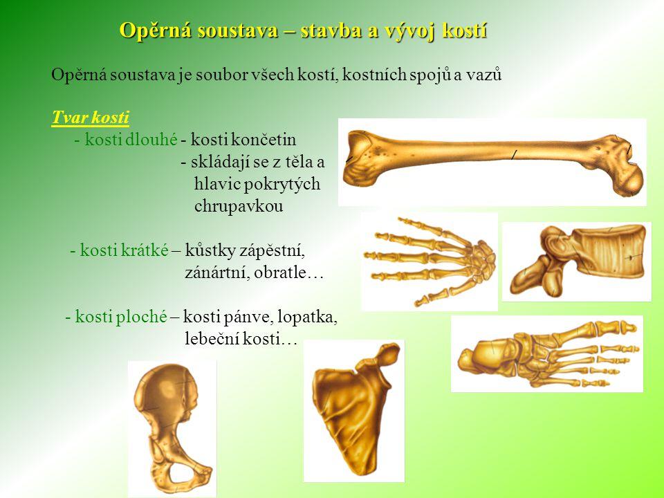 Opěrná soustava – stavba a vývoj kostí