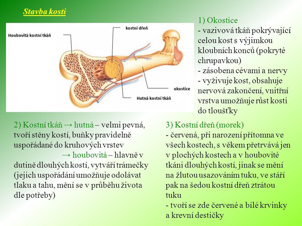 Stavba kosti 1) Okostice. - vazivová tkáň pokrývající celou kost s výjimkou kloubních konců (pokryté chrupavkou)