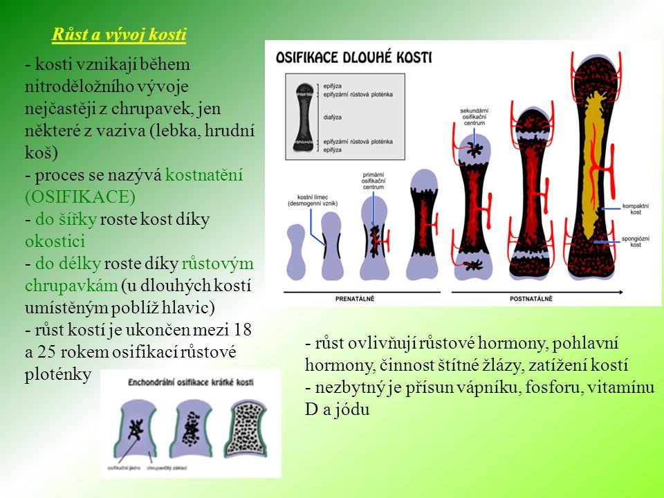 Růst a vývoj kosti - kosti vznikají během nitroděložního vývoje nejčastěji z chrupavek, jen některé z vaziva (lebka, hrudní koš)