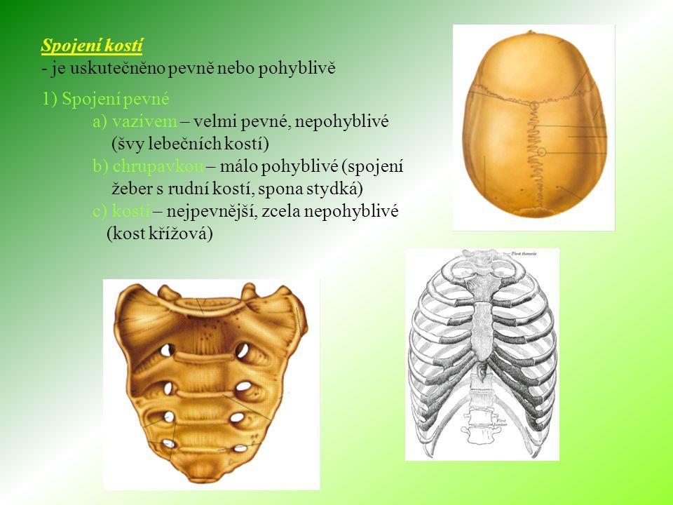 Spojení kostí - je uskutečněno pevně nebo pohyblivě. 1) Spojení pevné. a) vazivem – velmi pevné, nepohyblivé.
