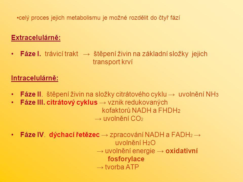 Fáze I. trávicí trakt → štěpení živin na základní složky jejich