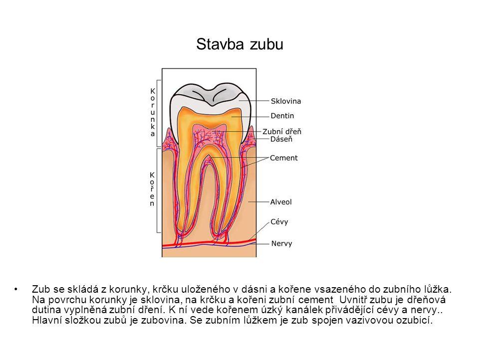 Stavba zubu