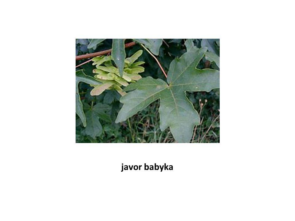 javor babyka