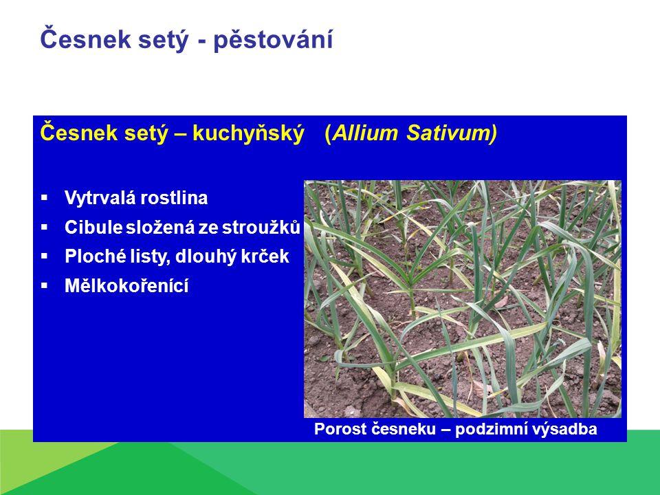 Česnek setý - pěstování