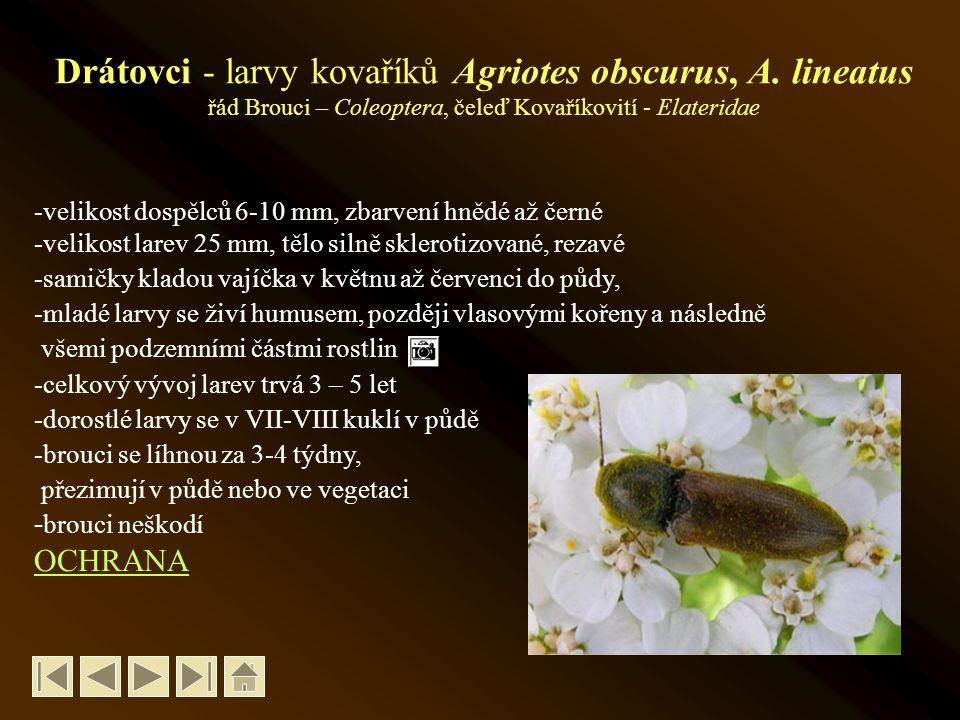 Drátovci - larvy kovaříků Agriotes obscurus, A