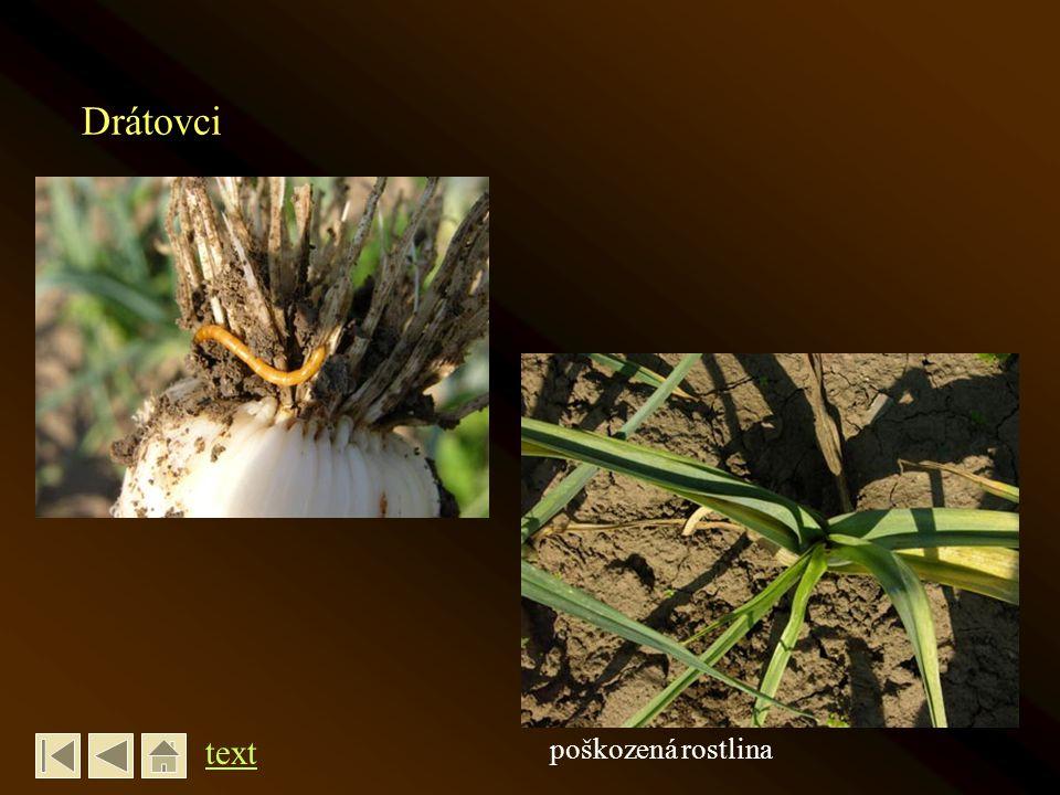 Drátovci text poškozená rostlina
