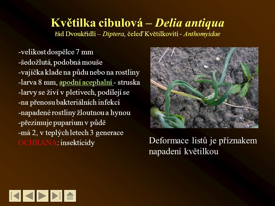 Květilka cibulová – Delia antiqua řád Dvoukřídlí – Diptera, čeleď Květilkovití - Anthomyidae