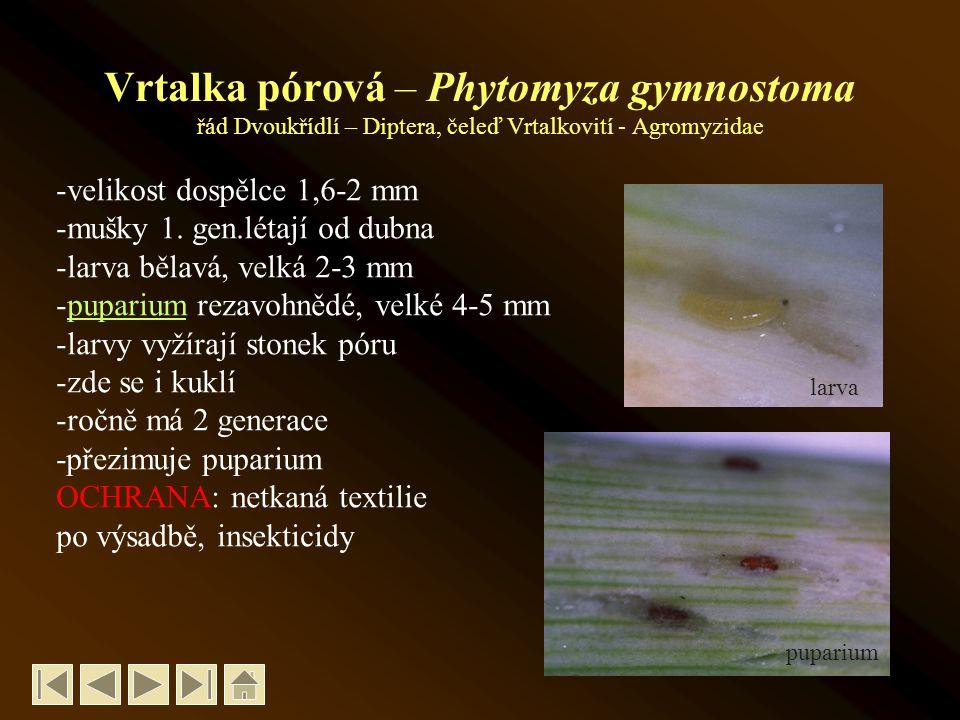 Vrtalka pórová – Phytomyza gymnostoma řád Dvoukřídlí – Diptera, čeleď Vrtalkovití - Agromyzidae