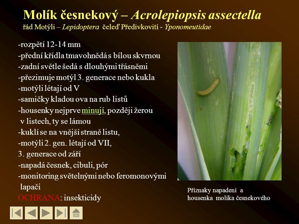 Molík česnekový – Acrolepiopsis assectella řád Motýli – Lepidoptera čeleď Předivkovití - Yponomeutidae