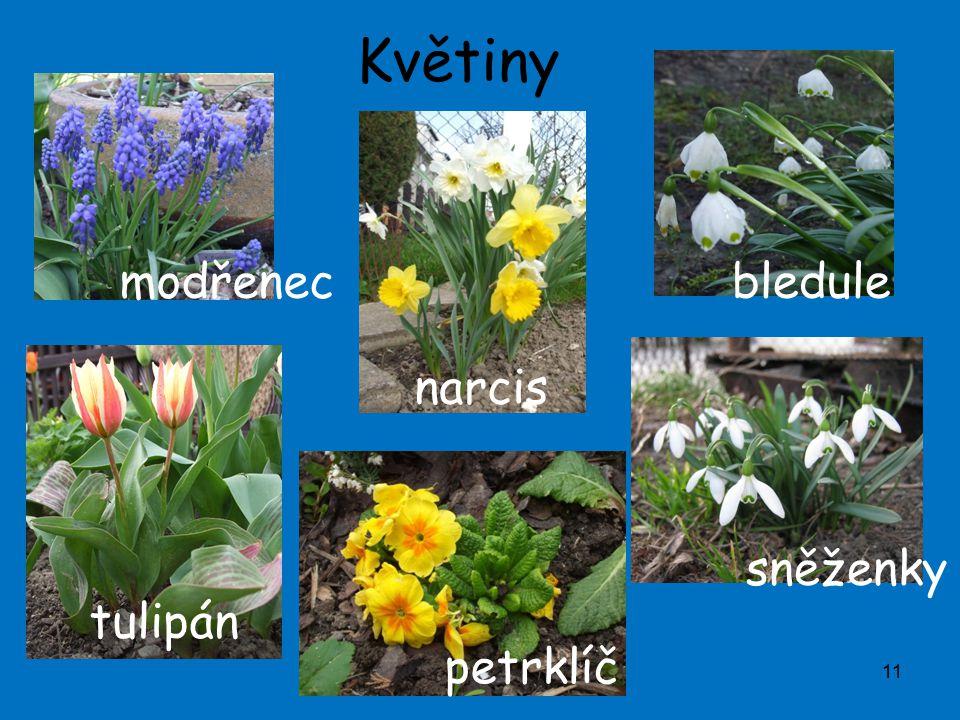 Květiny modřenec bledule narcis sněženky tulipán petrklíč