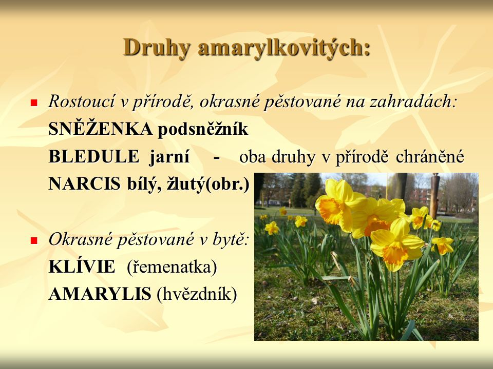 Druhy amarylkovitých: