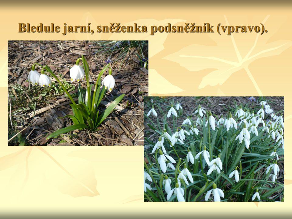 Bledule jarní, sněženka podsněžník (vpravo).