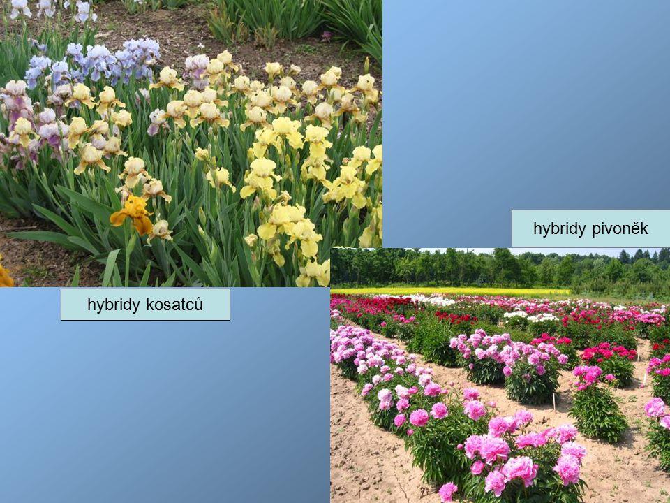 hybridy pivoněk hybridy kosatců