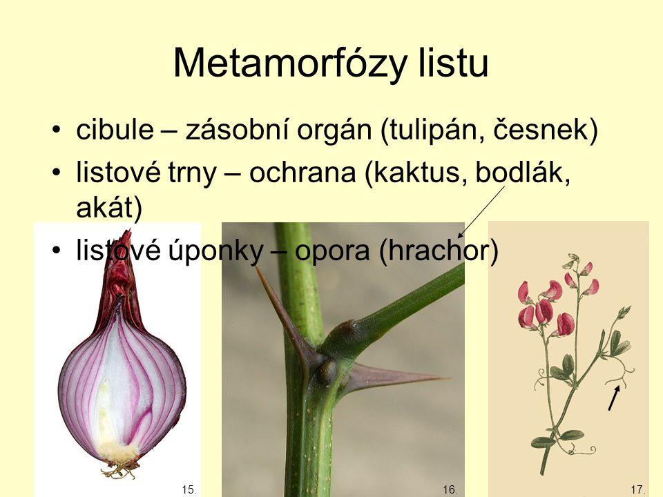 Metamorfózy listu cibule – zásobní orgán (tulipán, česnek)