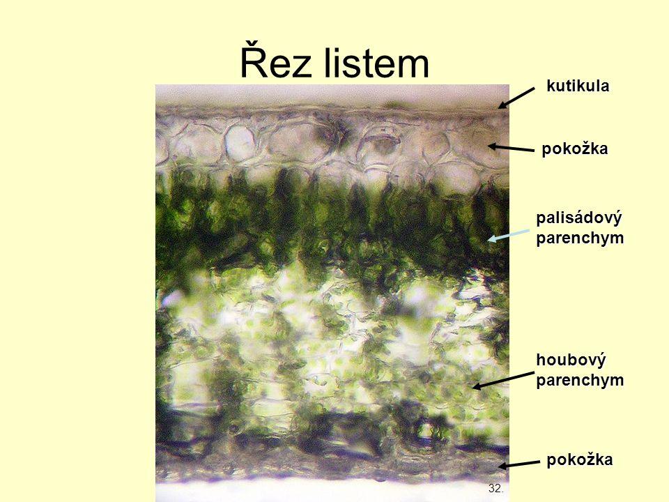 Řez listem kutikula pokožka palisádový parenchym houbový parenchym