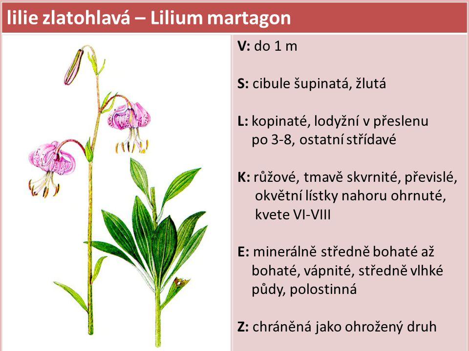 lilie zlatohlavá – Lilium martagon