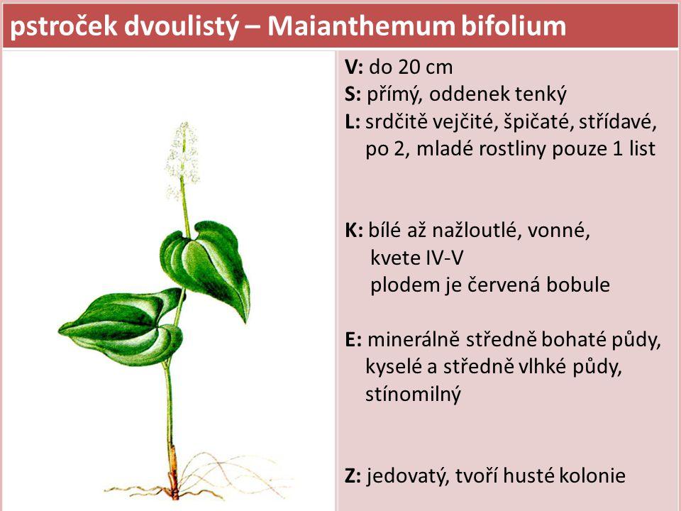 pstroček dvoulistý – Maianthemum bifolium