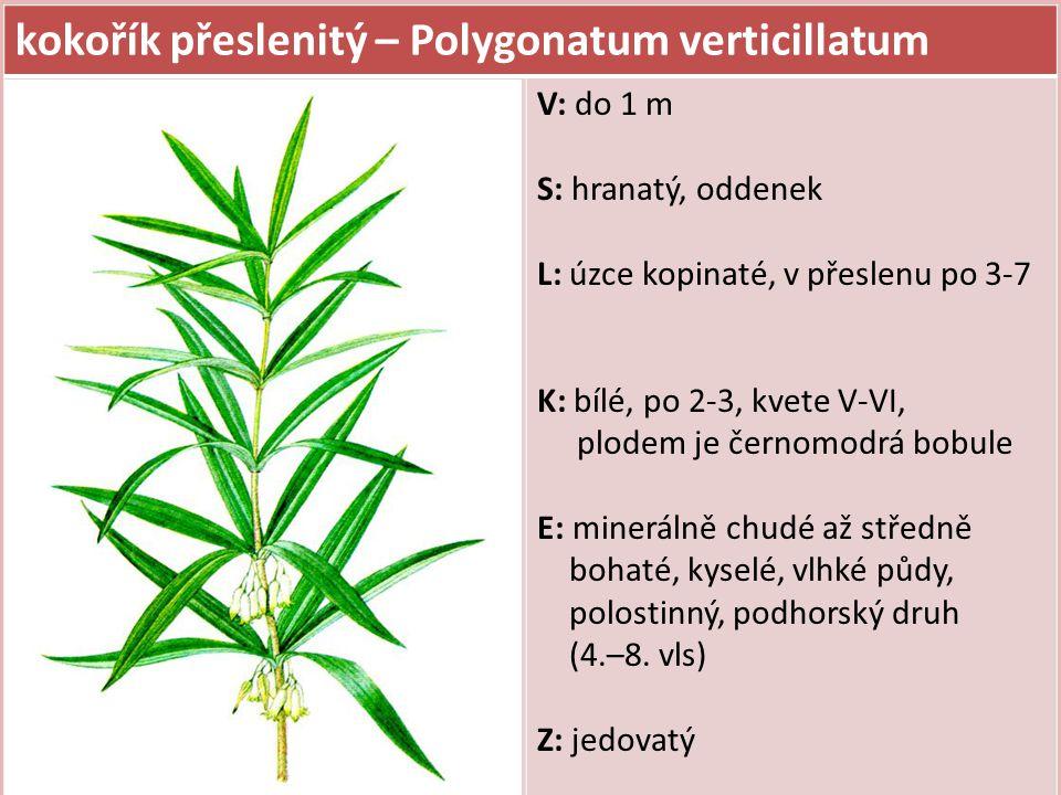 kokořík přeslenitý – Polygonatum verticillatum