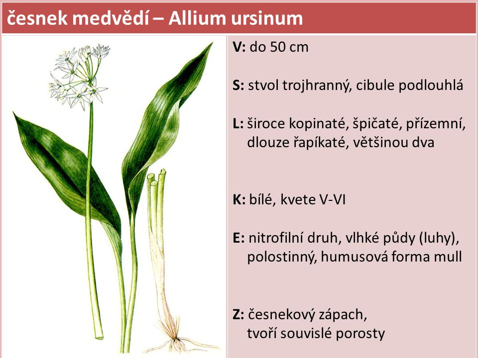 česnek medvědí – Allium ursinum