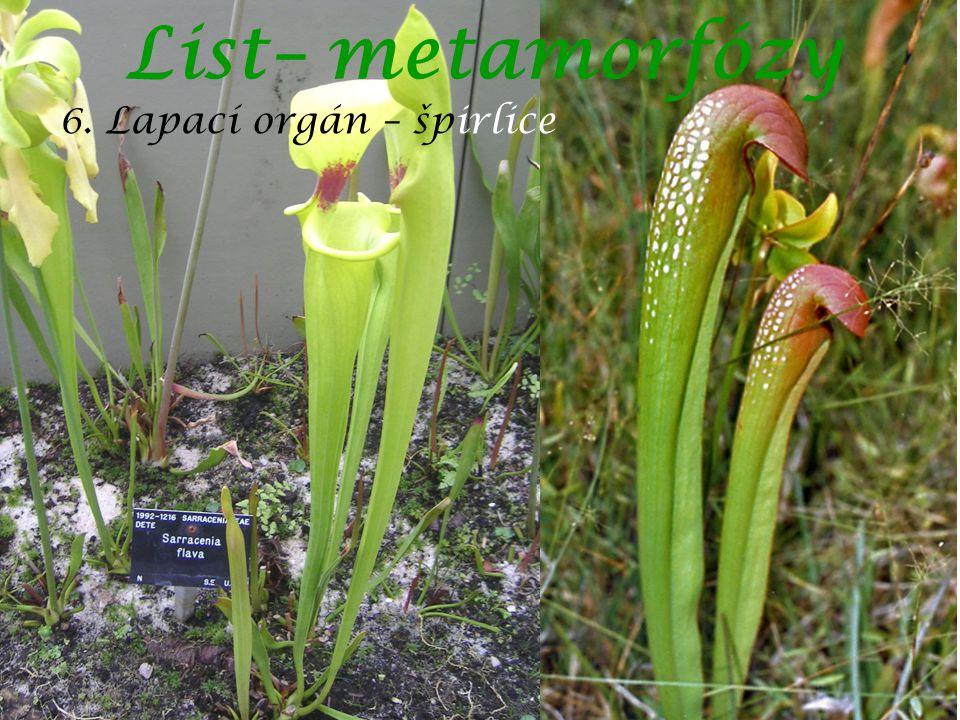 List– metamorfózy 6. Lapací orgán – špirlice autor: Chilepine