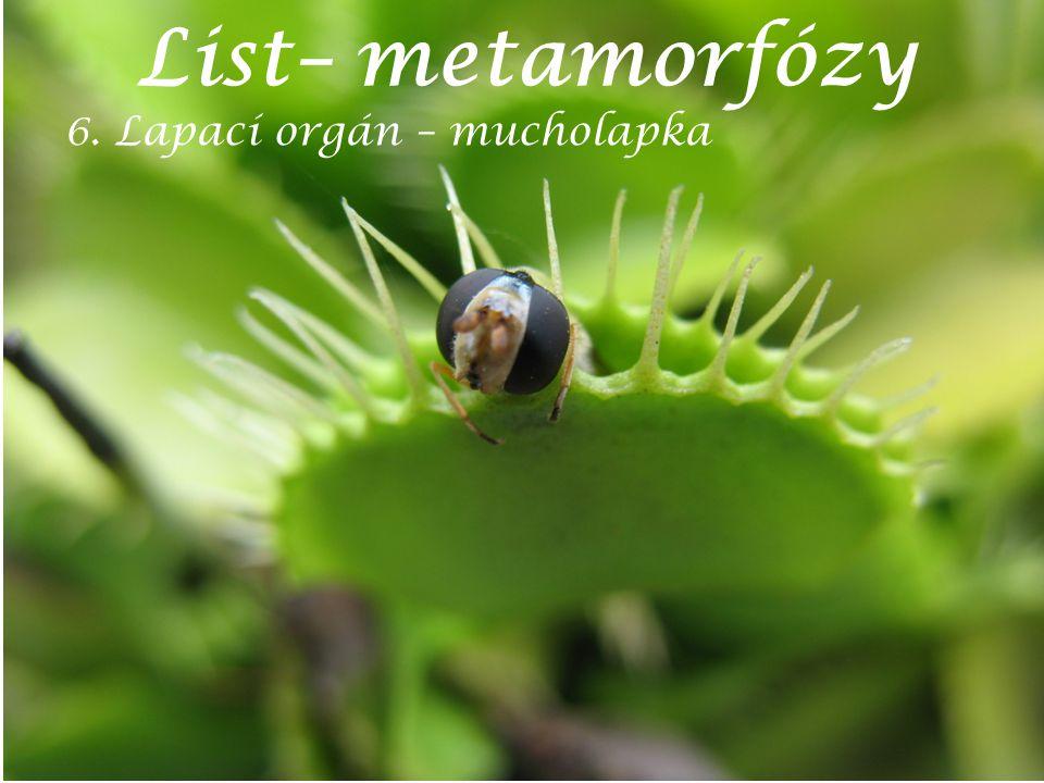 List– metamorfózy 6. Lapací orgán – mucholapka