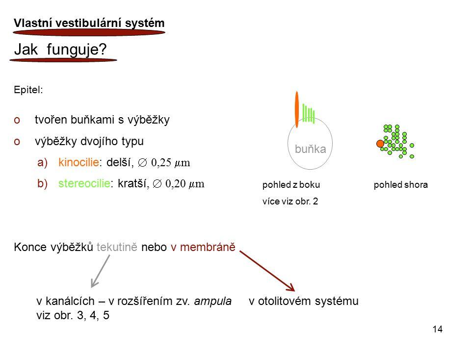Jak funguje Vlastní vestibulární systém tvořen buňkami s výběžky