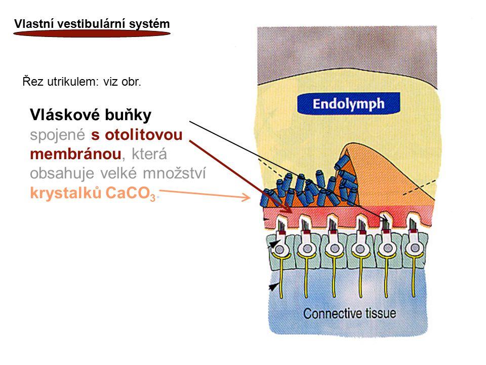 Vlastní vestibulární systém