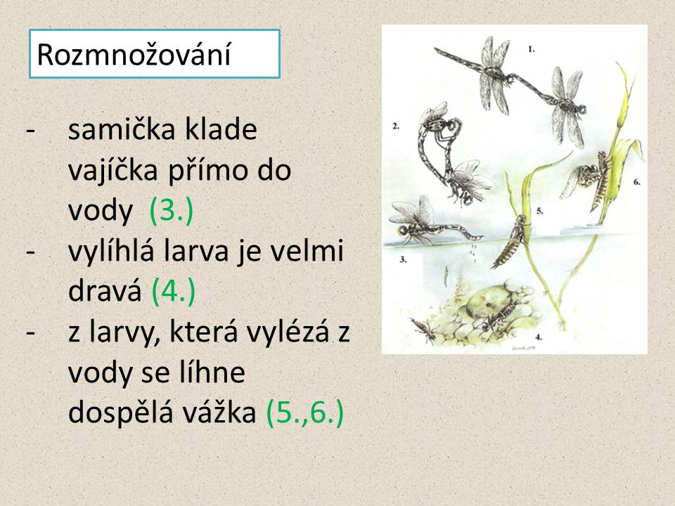 Rozmnožování samička klade vajíčka přímo do vody (3.) vylíhlá larva je velmi dravá (4.)