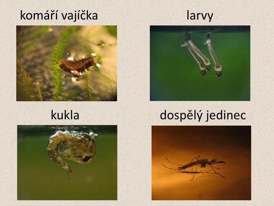 komáří vajíčka larvy kukla dospělý jedinec
