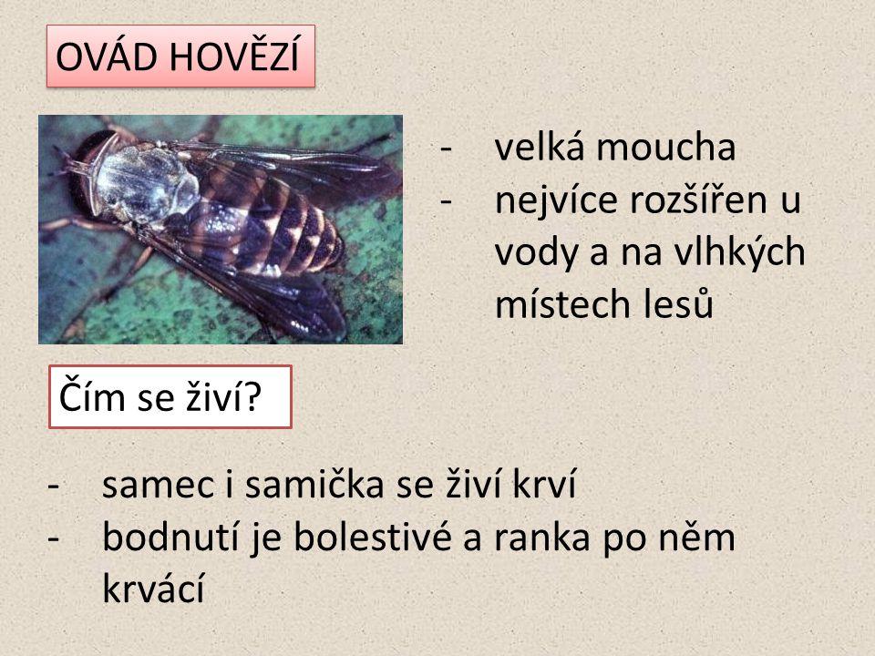 OVÁD HOVĚZÍ velká moucha. nejvíce rozšířen u vody a na vlhkých místech lesů. Čím se živí samec i samička se živí krví.