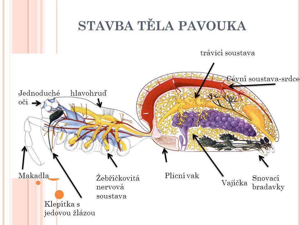 STAVBA TĚLA PAVOUKA trávicí soustava Cévní soustava-srdce Jednoduché