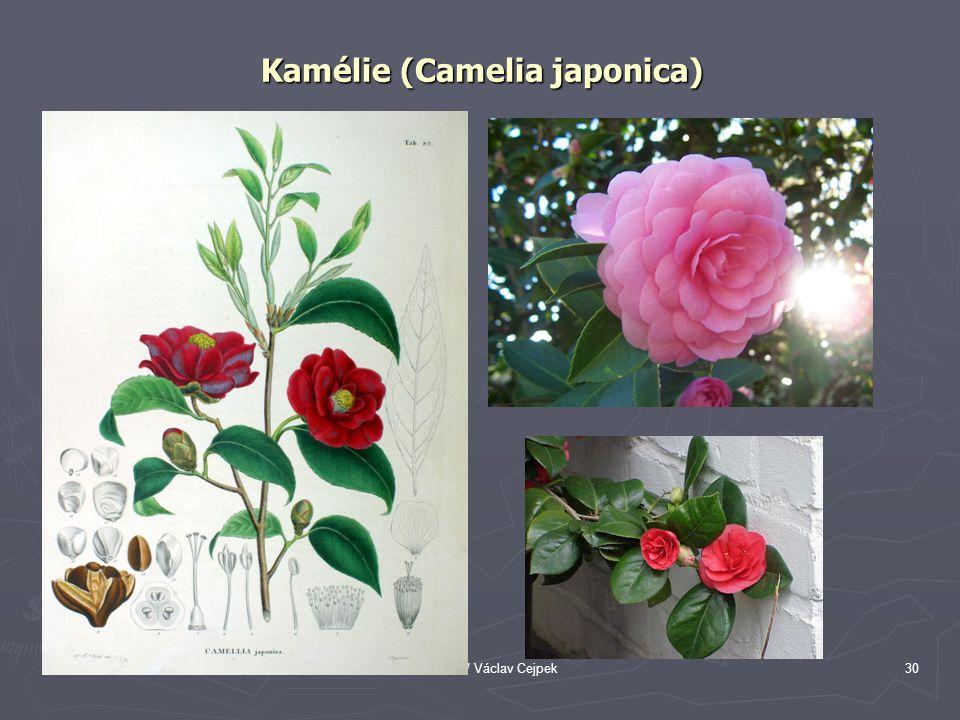Kamélie (Camelia japonica)
