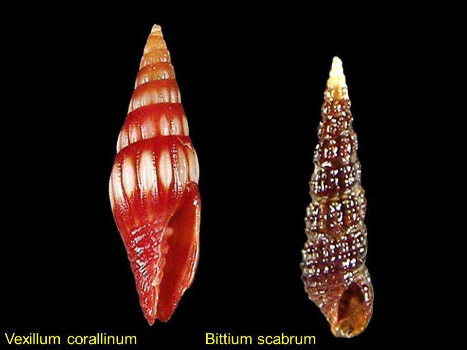 Vexillum corallinum Bittium scabrum