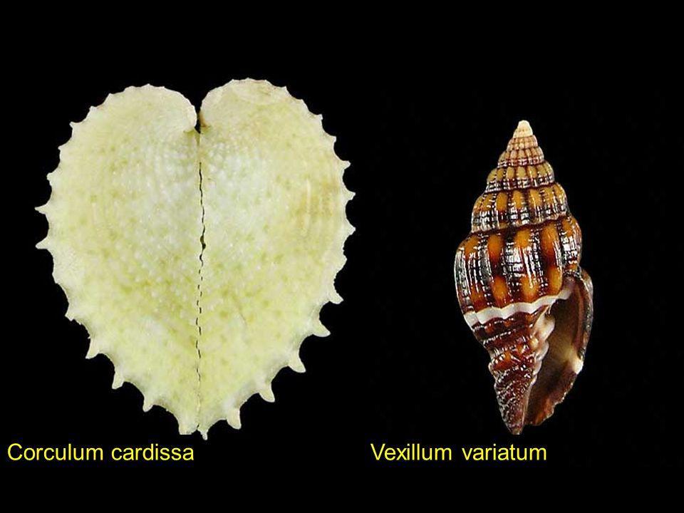 Corculum cardissa Vexillum variatum