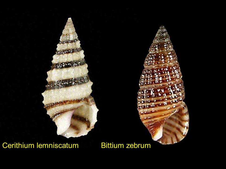Cerithium lemniscatum