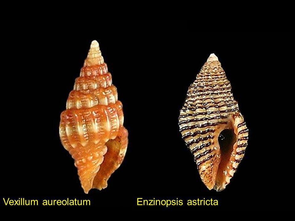 Vexillum aureolatum Enzinopsis astricta
