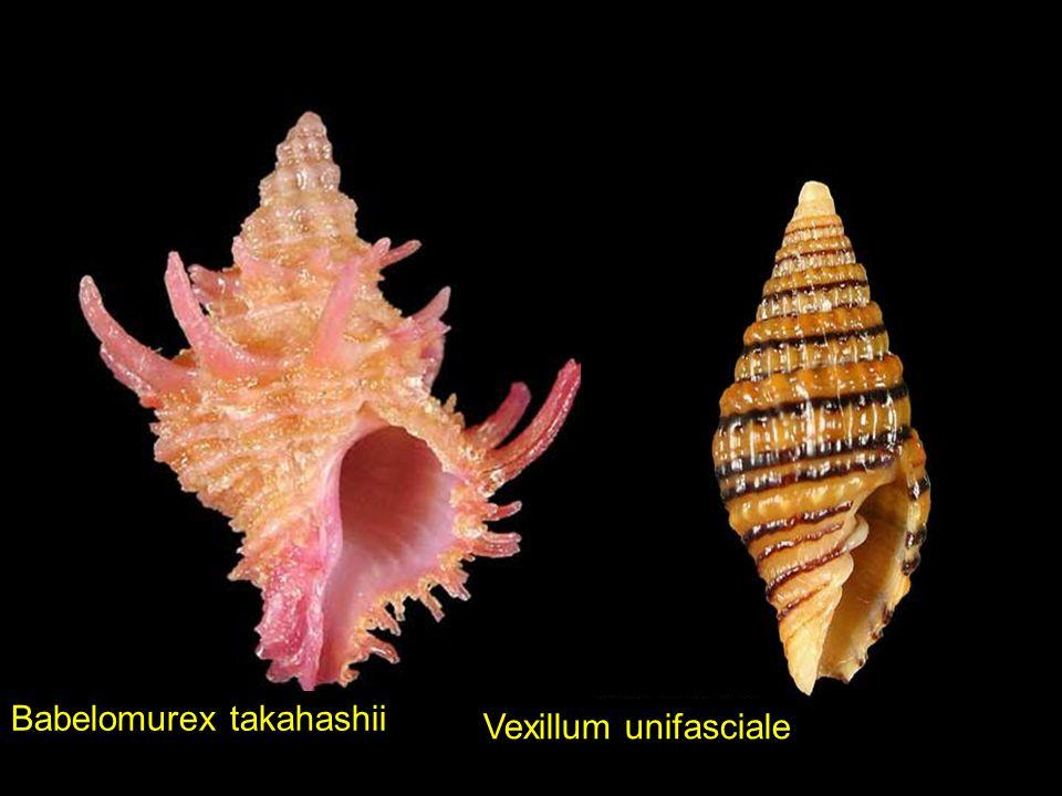 Babelomurex takahashii