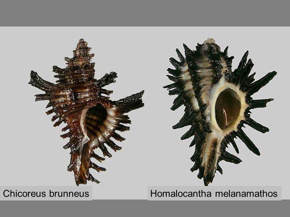 Chicoreus brunneus Homalocantha melanamathos